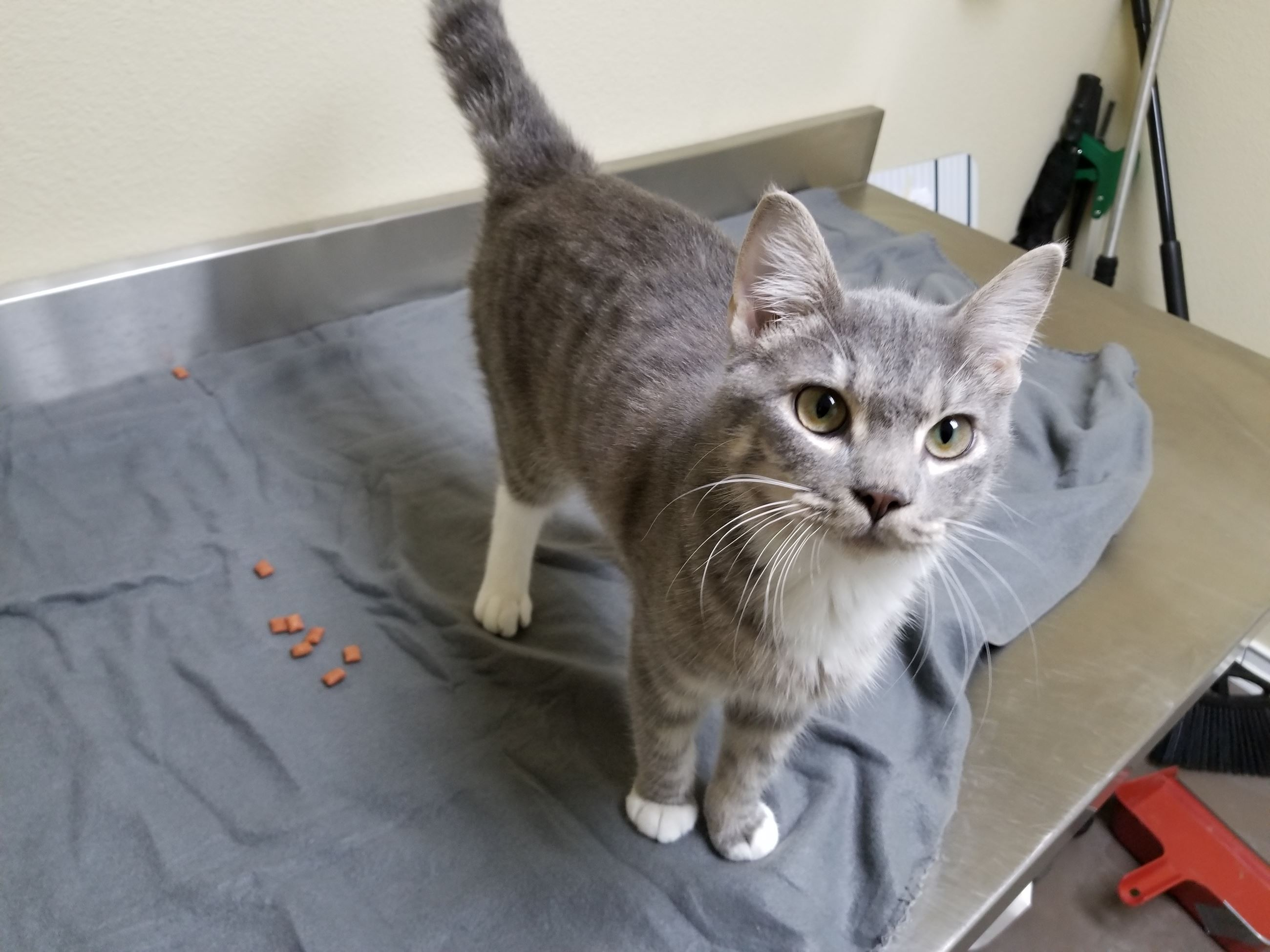 Zander 17-578 gray male short haired cat