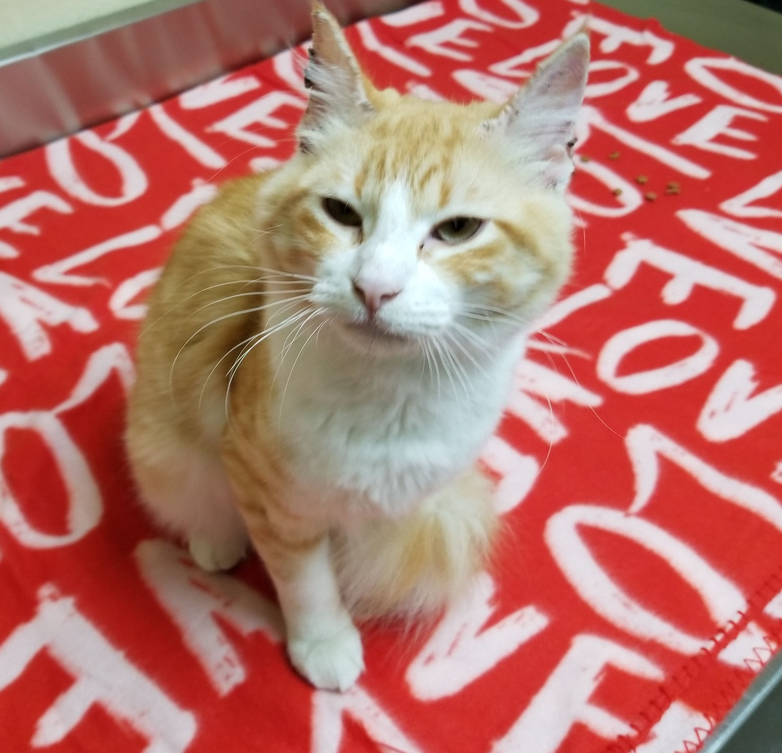 Nala 17-653 orange/white striped male cat