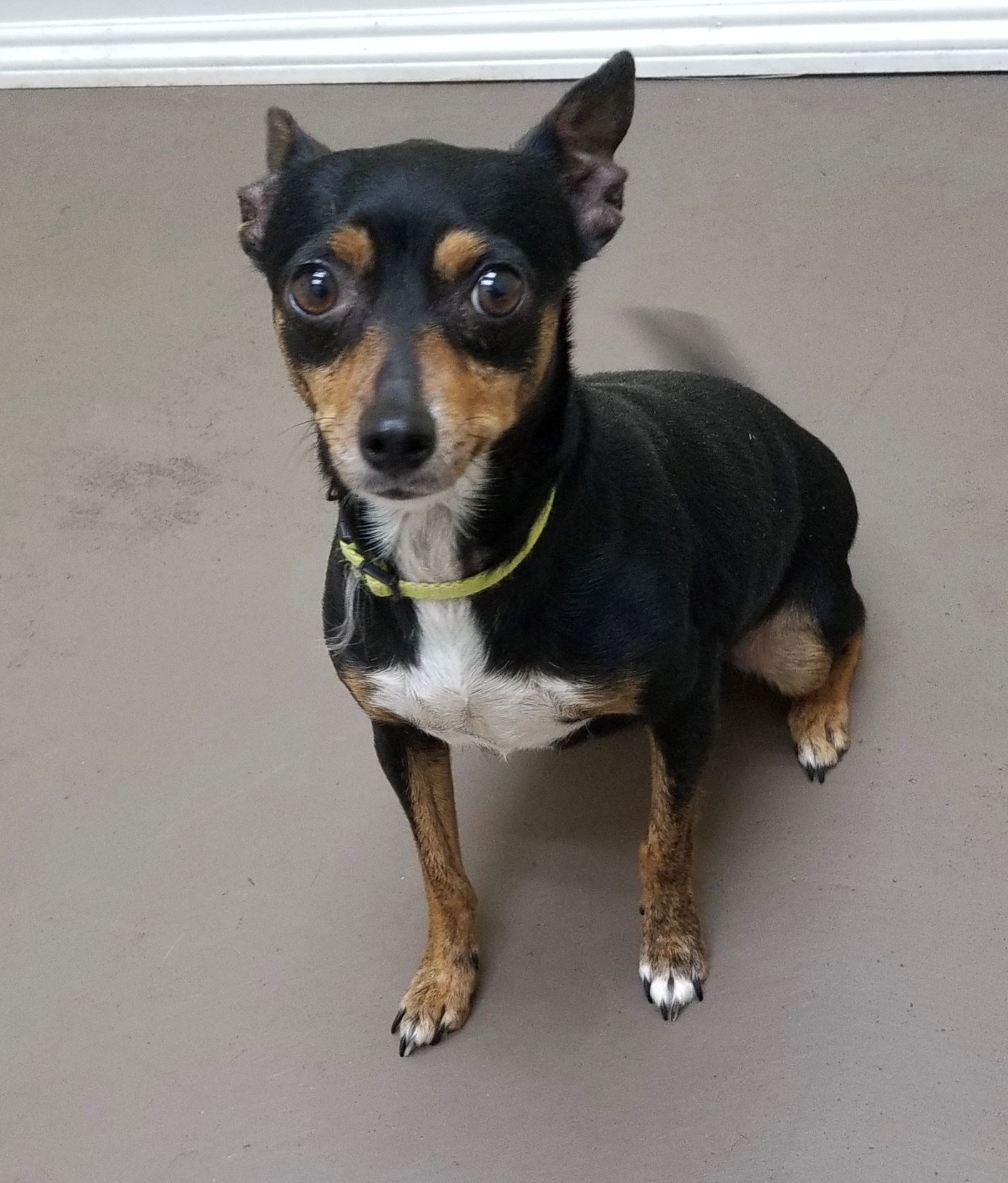 Nikki 17-689 Black w/ white & tan female Chihuahua