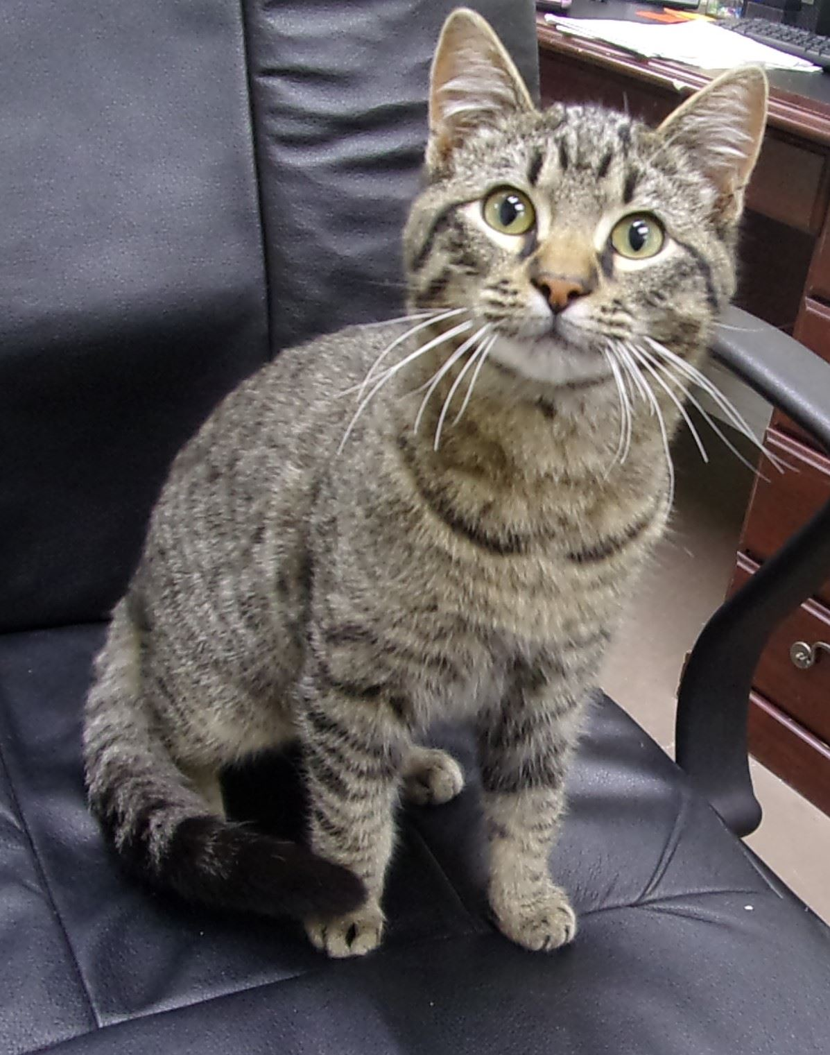 19-155 Daxter tan/black striped male Tabby