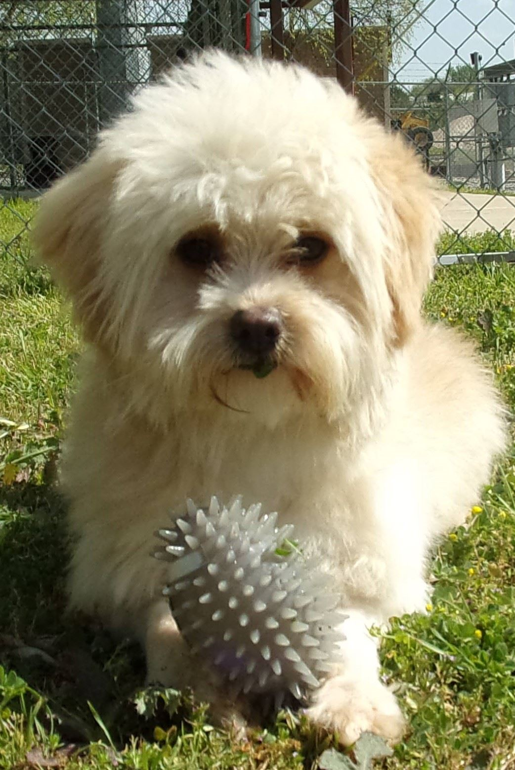 19-148 Washington cream colored male Shih Tzu