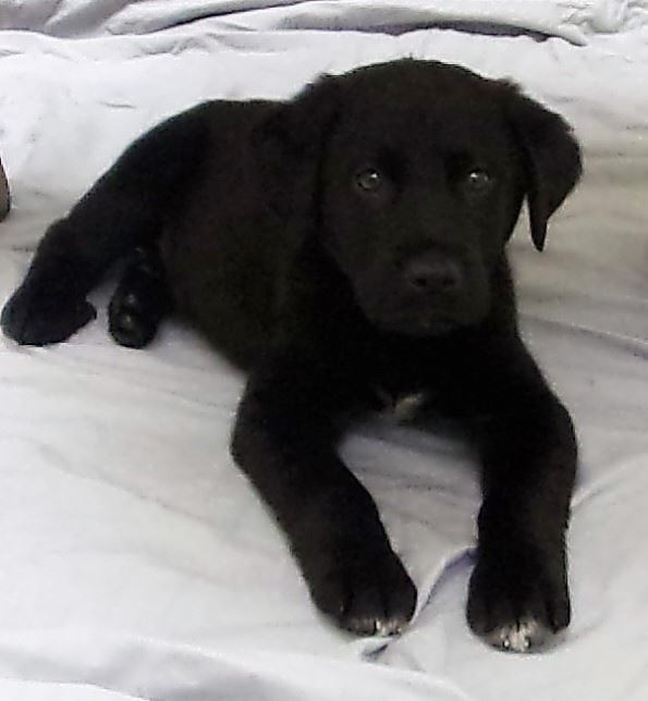 19-181 Simba male black Lab mix puppy