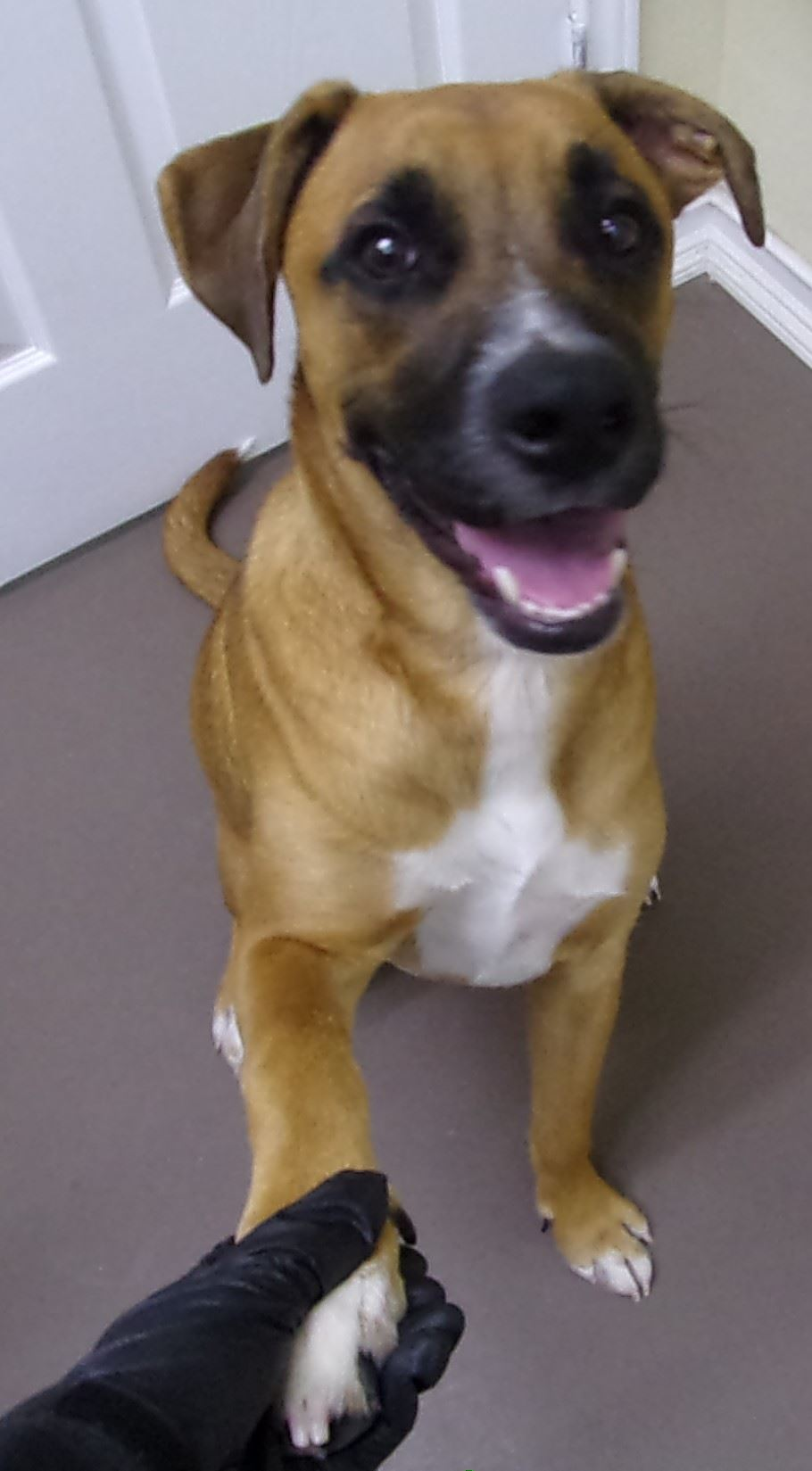 19-306 Rocky tan/white male Boxer/Lab mix