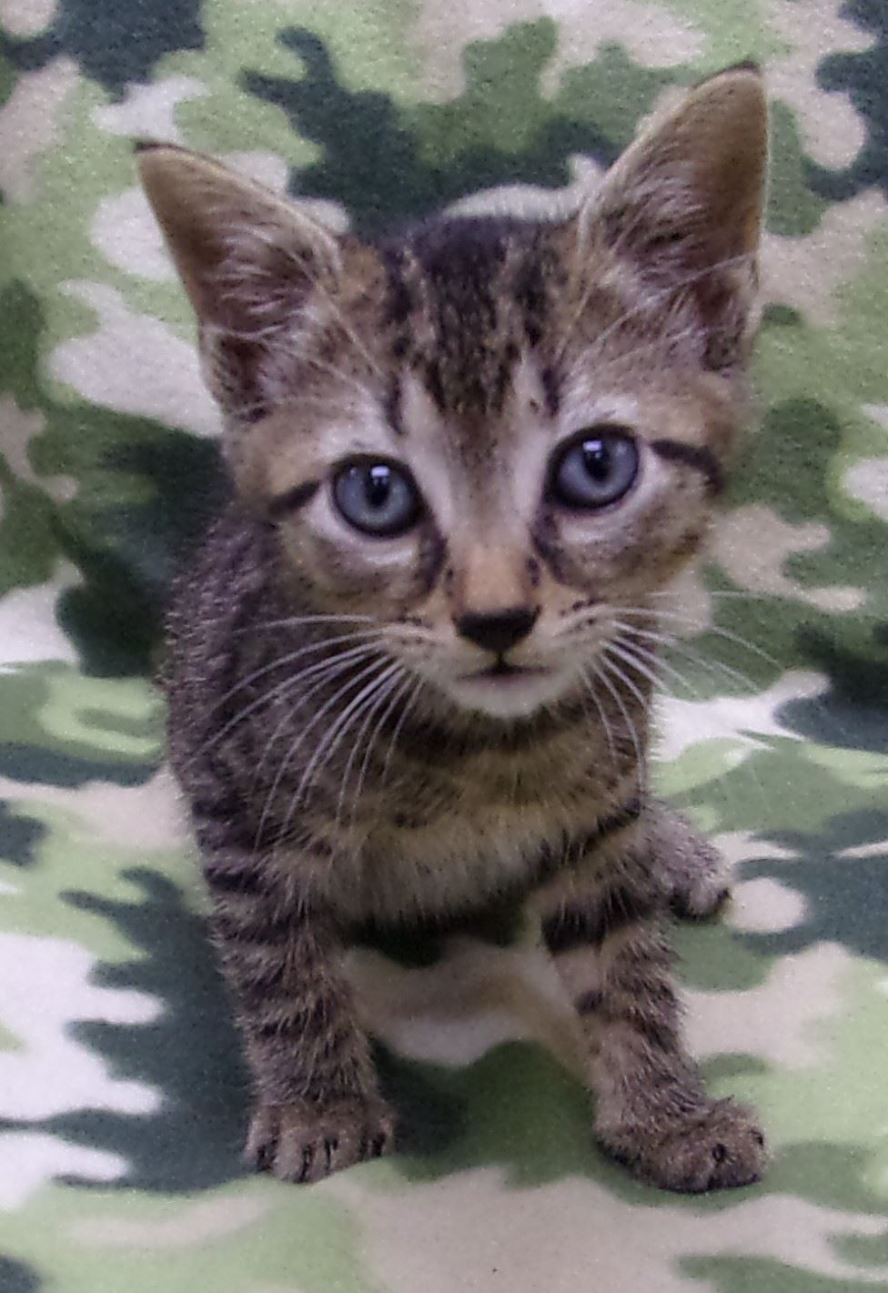 19-280 Archer grey tan black striped male kitten