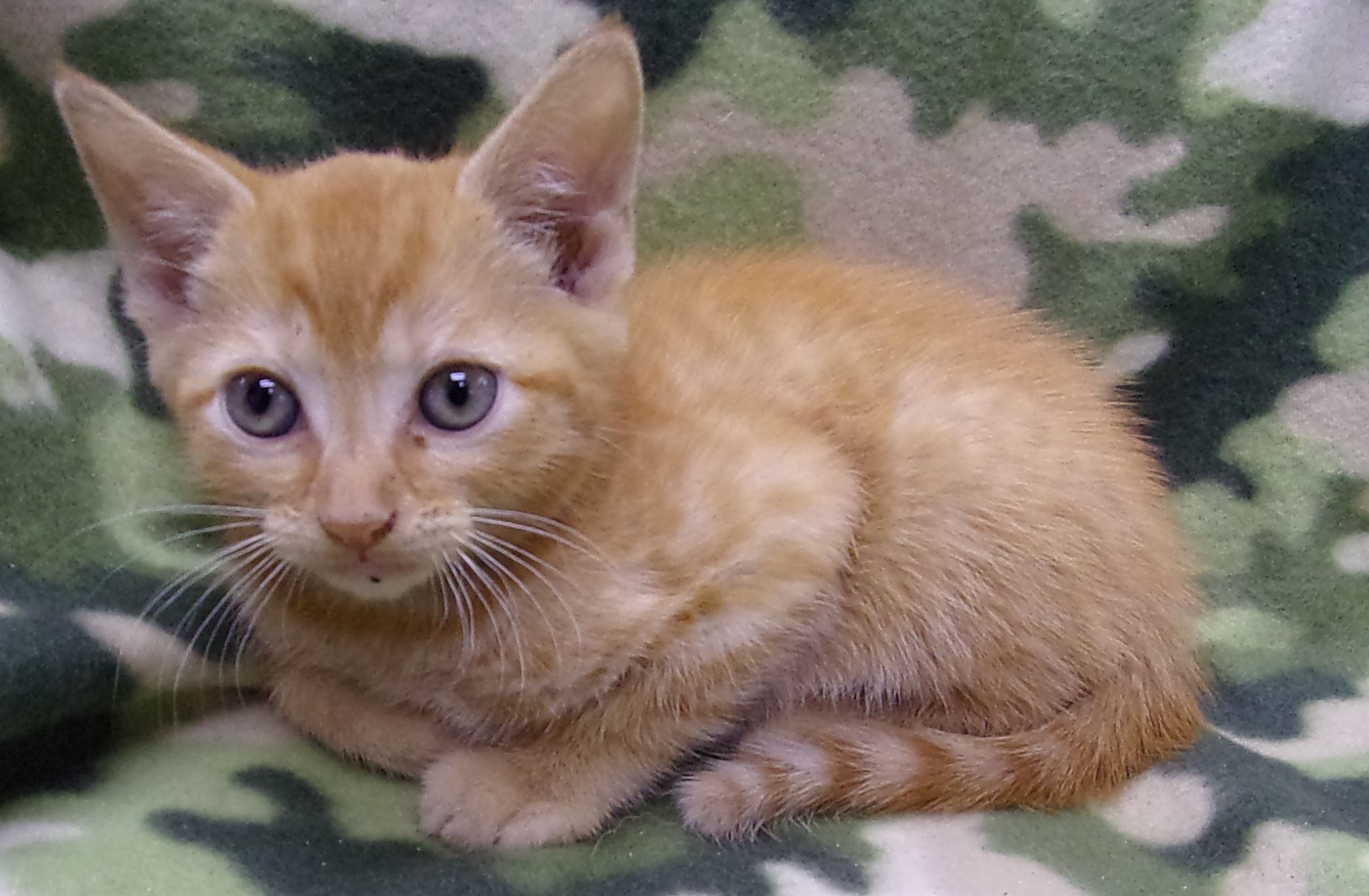 19-282 Quill orange/white striped male kitten