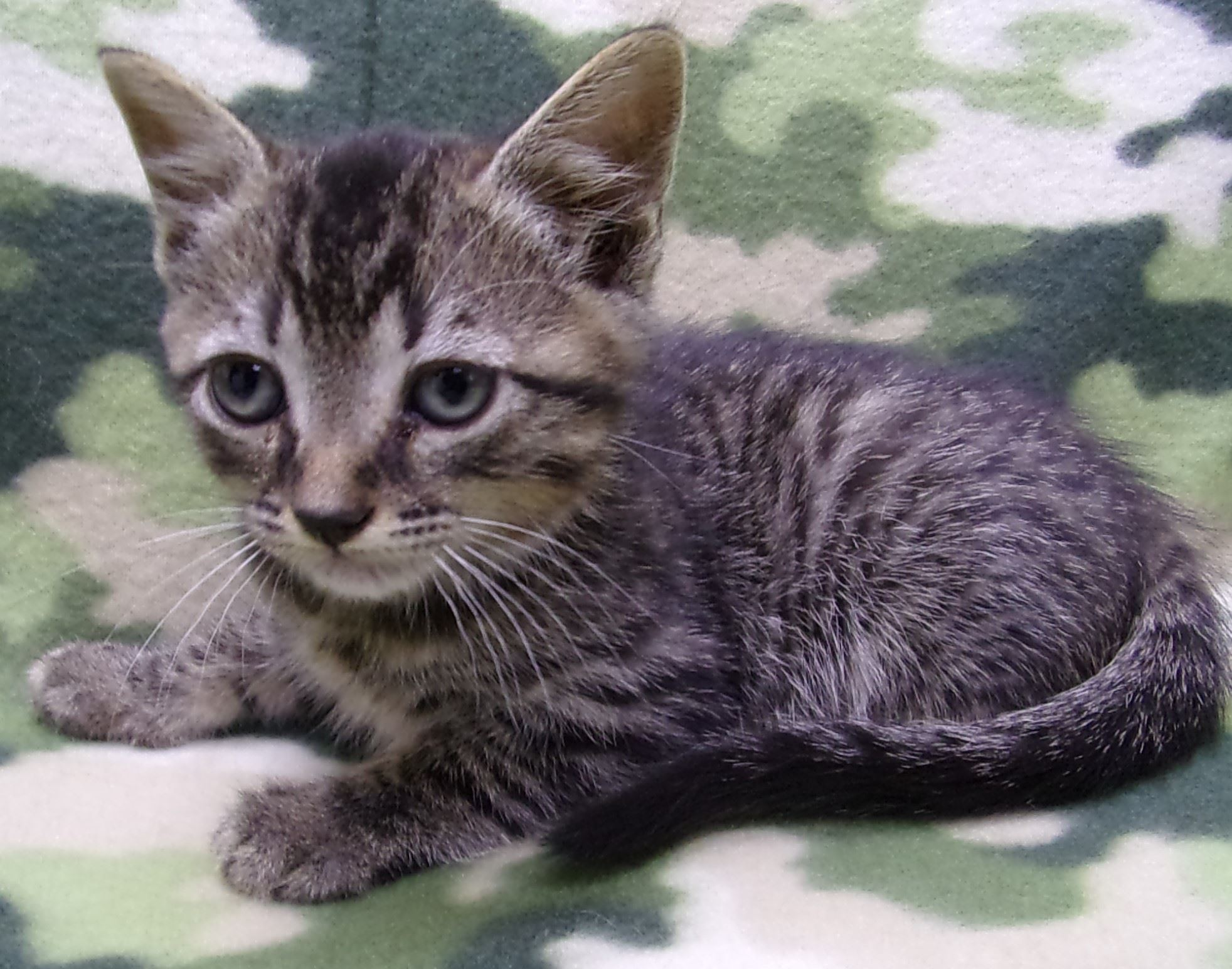 19-279 Axle grey striped male kitten