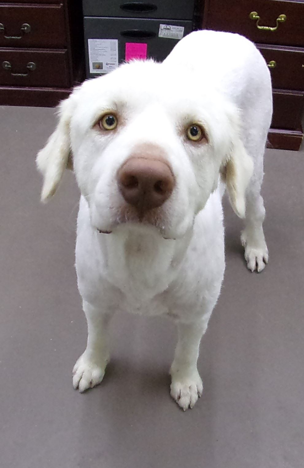 19-328 George male Pyrenees white - shaved fur