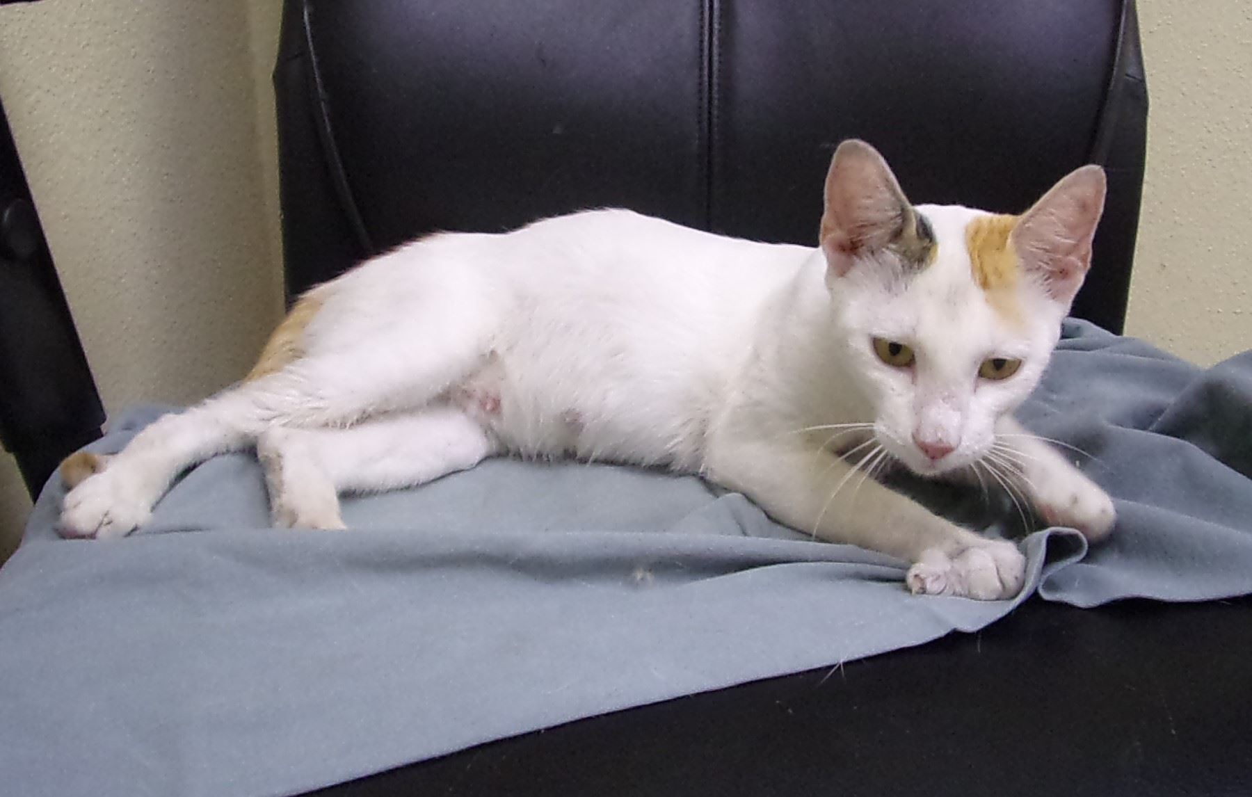 19-400 Elva female white cat with orange and grey markings